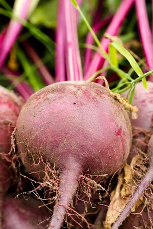 Fresh beetroots picked in home garden close up. Full frame cover background vertical composition Stock Photo