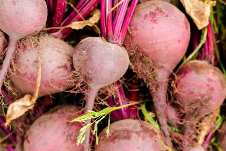 Fresh beetroots picked in home garden close up. Full frame cover background horizontal composition Stock Photo