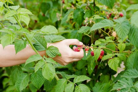 Young adult women hands picking organic homegrown raspberries. Horizontal composition focus on hand
