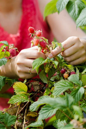 Young adult women hands picking organic homegrown raspberries. Vertical composition focus on hands