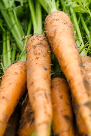 Fresh picked organic homegrown carrots close up backgrounds. Vertical full frame macro crop Stock Photo