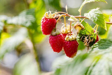 Hanged on branch growing red juicy raspberries in close up shot. Horizontal crop, day light, macro