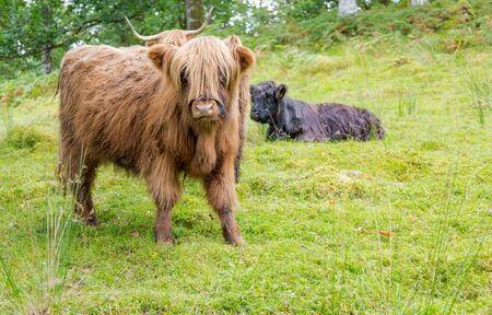 mistic: Hairy cow calf on green pasture in Scotland. Horizontal crop in day light Stock Photo