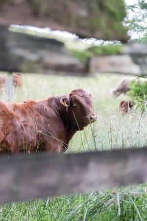 Big perky bull on Scottish pasture looking straight. Vertical portrait