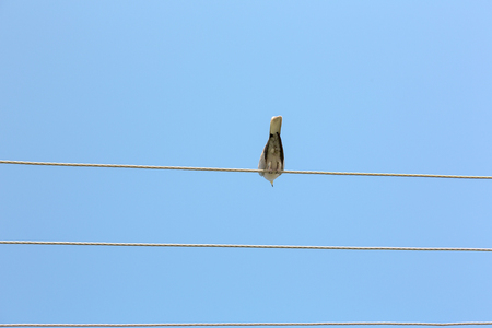 imperturbable: Single dove settle down impassive on high voltage line. Horizontal crop with pigeon in middle, blue sky background. Stock Photo