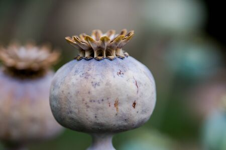 Poppy fruit dry shell head with seeds grown on meadow. Close up horizontal background with shallow depth of field