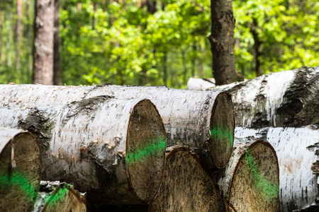 Forest cut, cut pine, birch tree logs mared with green paint arranged in order in qubic meter sizes. Horizontal full frame crop. Day light, sunny day Stock Photo