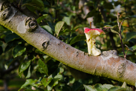 Red apple core on tree branch in orchard in golden hour light. Close up horizontal view Stock Photo