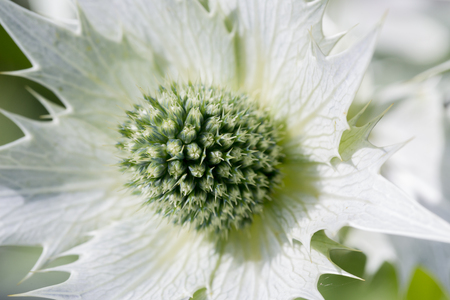 White thistle thistle eryngium white star close up on flower stock photo white thistle thistle eryngium white star close up on flower head full frame horizontal background mightylinksfo