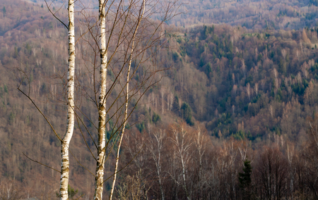 Two young slim birch tree on forest background. Selective focus o young tree. Shallow depth of field on brown mountains