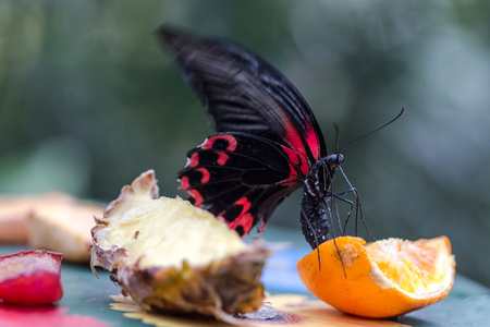 Exotic butterfly red and black eats fruits nectar. Macro vertical composition