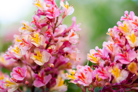 Pink chestnut tree, Aesculus × carnea, or red horse-chestnut blooming flowers in extreme macro shoots. Horizontal, full frame crop