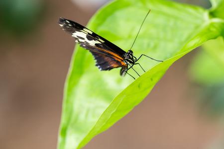 Exotic black butterfly on vivid green leaf. Macro horizontal portrait