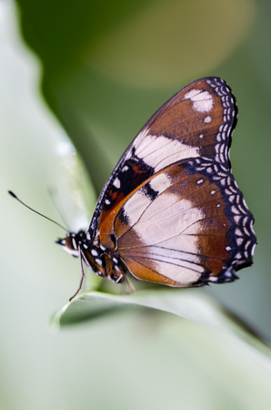 Tigger look butterfly profile side portrait with sharp pattern on wings