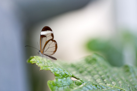 Transparent wings butterfly poses on leaf. Macro portrait. Horizontal crop. Stock Photo