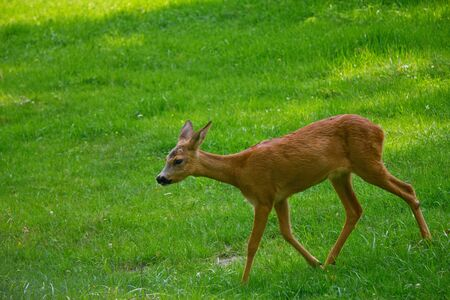 fawn: Young deer at the meadow Stock Photo