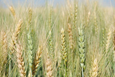 Wheat grain on harvesting stage