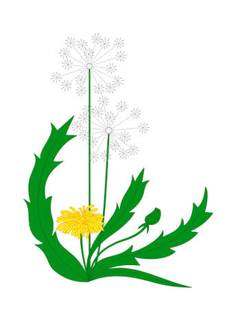 Vector blooming dandelion isolated on a white background Vector