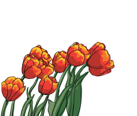 Bouquet of red tulips isolated on white background, vector Vector