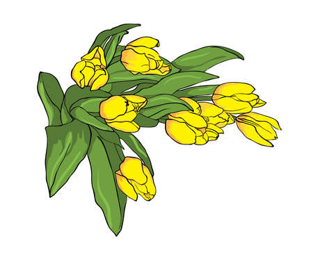 Bouquet of yellow tulips isolated on white background, vector