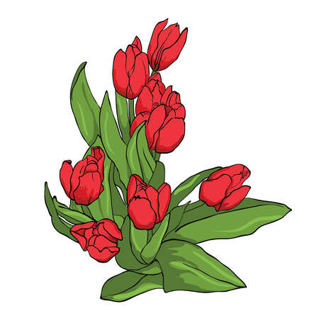 tulips isolated on white background: Bouquet of red tulips isolated on white background, vector
