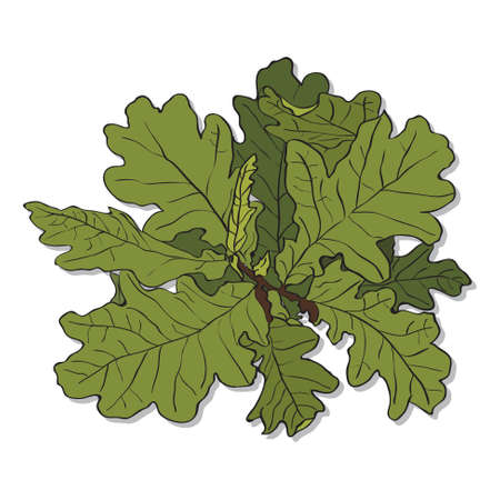 broad: oak branch with green leaves on white background