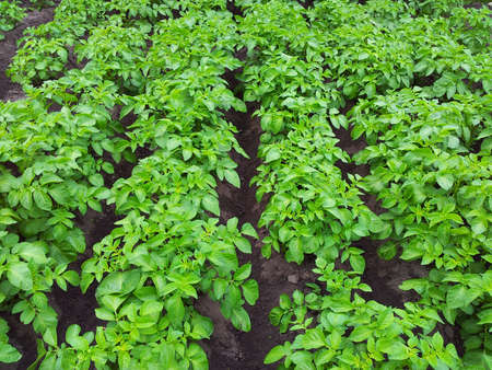 rows of green potato plant in field photo
