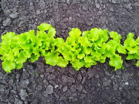 alface: jovem luz salada verde no canteiro