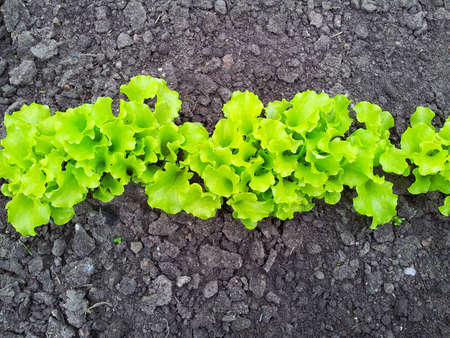 young light green salad on garden bed