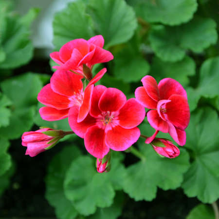 pelargonium: Pelargonium red flowers on a background of green leaves Stock Photo