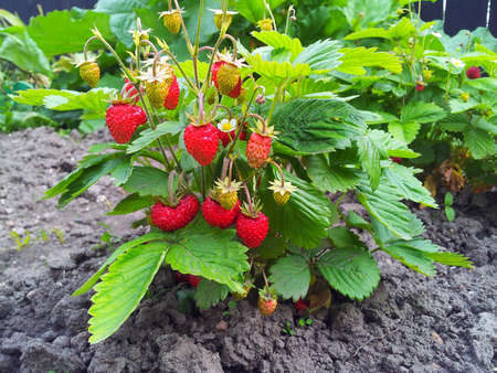 red bush: Strawberry plant, Fragaria vesca, Woodland Strawberry, European wood strawberry