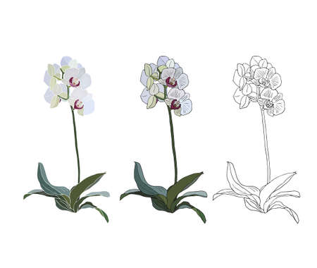 white orchids: Orchid branch isolated on white background, color and black drawing