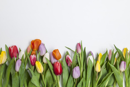 many fresh tulips on white background