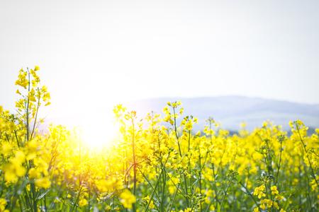 sunflare in a rape field Standard-Bild