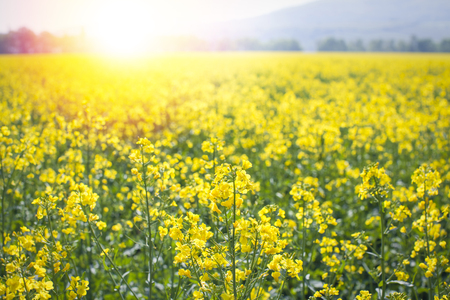 sunflair in a rape field