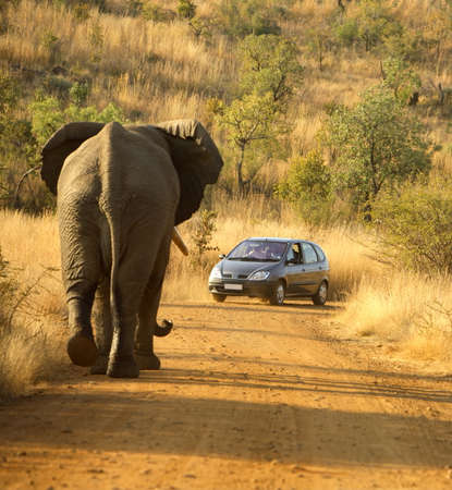 African elephant chasing a car, Pilanesburg National Park, South Africa reversing practice Publikacyjne