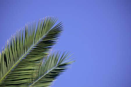 青空に対して 2 つのヤシの葉
