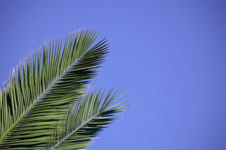 Two palm leaves against a blue sky photo