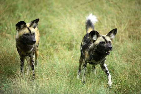 lycaon pictus: Two african wild dogs (lycaon pictus)