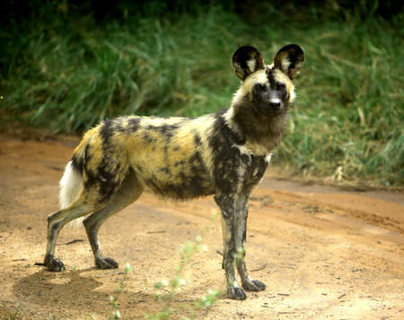 One african wild dog (lycaon pictus)