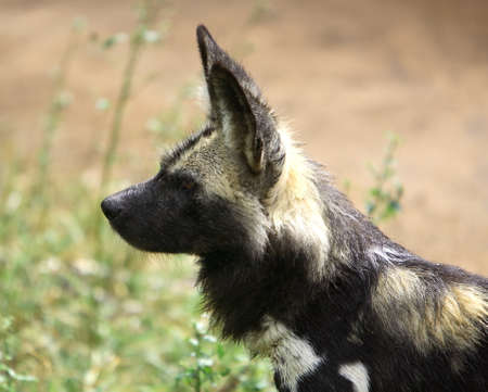 lycaon pictus: One african wild dog (lycaon pictus)