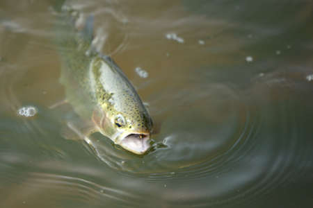 river fish: Trout river fish being caught, fly visible