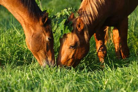 horse love horse kiss animal love: Two horses kissing under the mistletoe