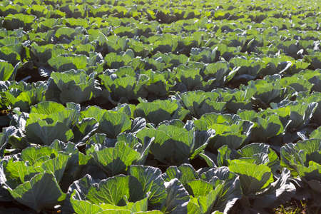 Rows and rows of cabbages on an organic farm