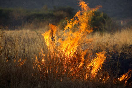 bushfire: Grass burning in a wild bushfire outdoors