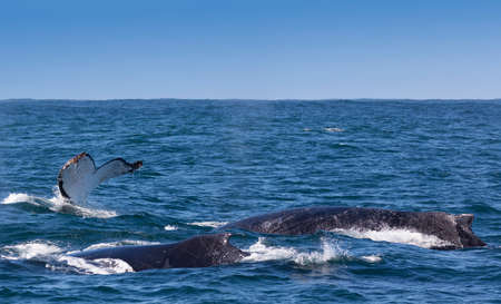Three humpback whales surfacing off the coast of Knysna, South Africa