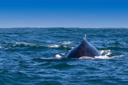dorsal: Aleta dorsal de la ballena jorobada visible de la costa de Knysna, Sud�frica