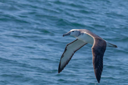 Juvenile Grey-headed Albatross flying over the Indian Ocean 1,5 kms off the coast of Knysna, South Africa Zdjęcie Seryjne
