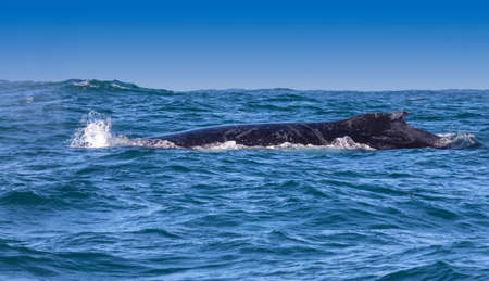 Humpback whales dorsal fin visible off the coast of Knysna, South Africa