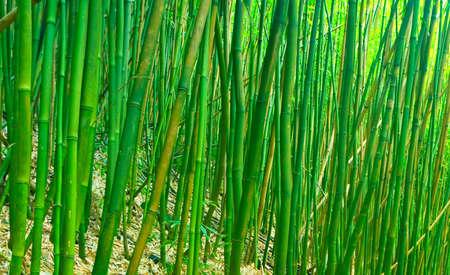 japones bambu: Verde Zen de bambú
